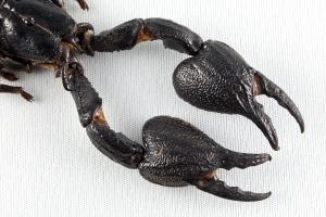 stockvault-black-scorpion-claws133872