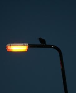stockvault-crow-on-lampost100404