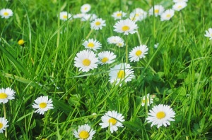 stockvault-daisy-meadow118146