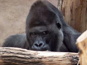 stockvault-gorilla103083