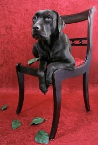 stockvault-labrador-dog-on-chair131601