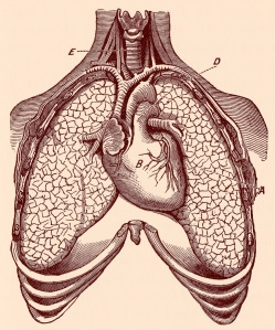 stockvault-human-heart-ampamp-lungs-circa-1911148444