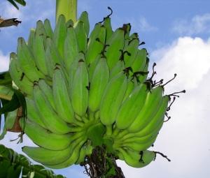 Ripe Banana Bunch