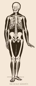 human-skeleton
