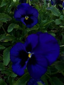 Pansies in Cora's Garden... 2/8/15, Tallahassee, FL