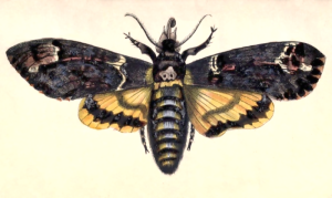 death-head-moth