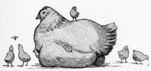 chickens-26