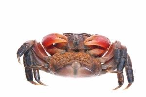 stockvault-crab146448
