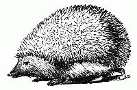 hedgehog-01