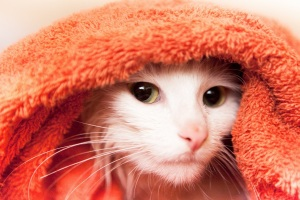 stockvault-cat-in-towel134073