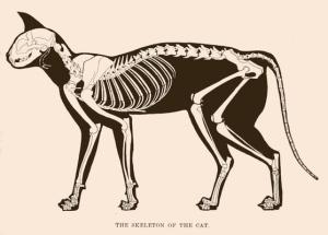 cat-skeleton