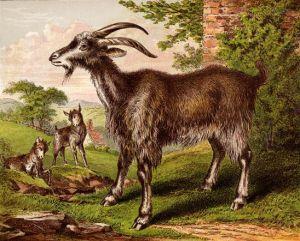 goat-images-13