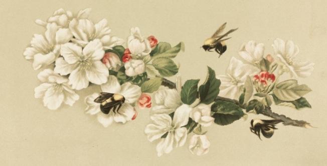 honey-bee-cherry-blossoms-2
