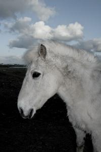 stockvault-icelandic-horse113954