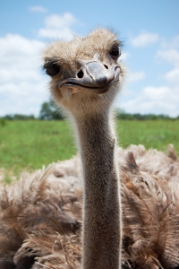 stockvault-ostrich115957