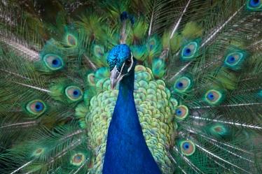 stockvault-peacock122020
