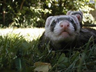 stockvault-weasels95725