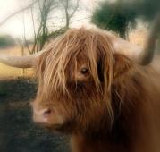 stockvault-highland-cow-117009