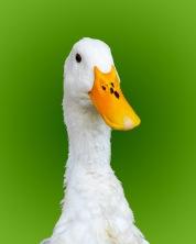 stockvault-white-goose182873