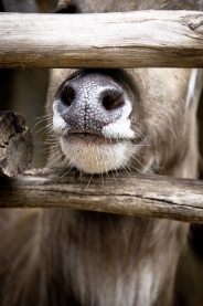 stockvault-deer-nose151250