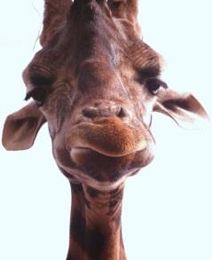 stockvault-giraffe-closeup202732