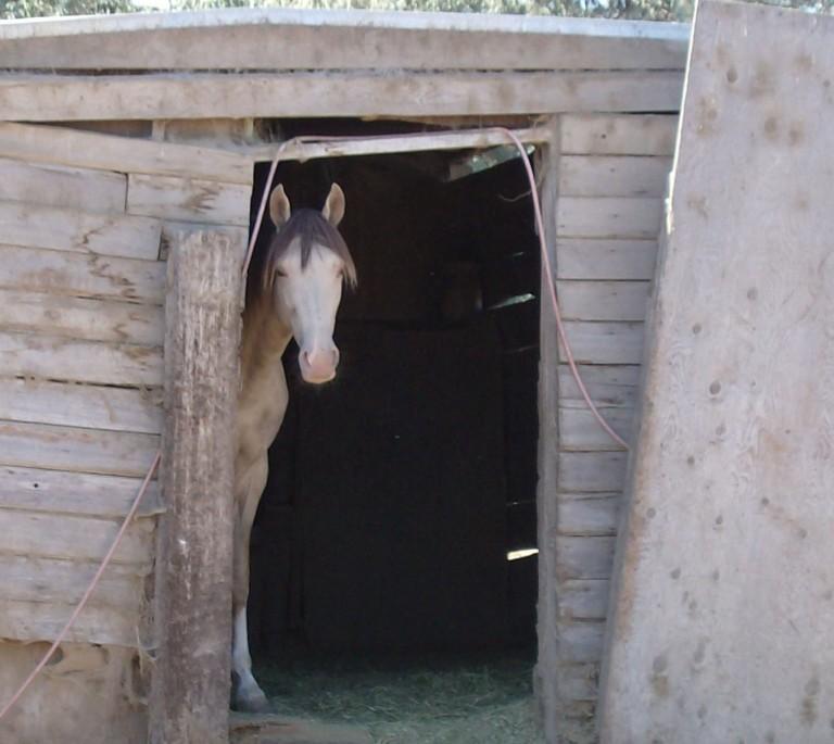 stockvault-stallion-camera-shy104302
