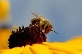 stockvault-bee-on-flower142922