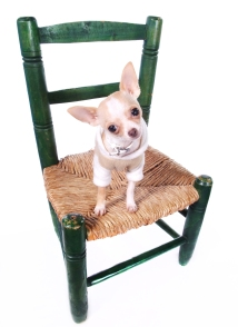 stockvault-chihuahua-dog-sitting-on-chair-130964