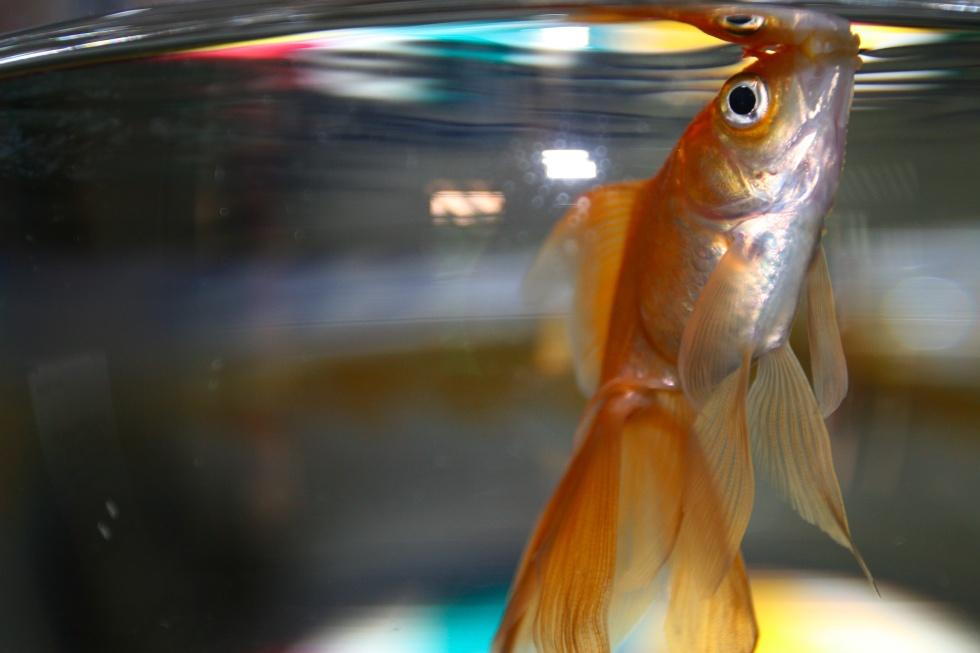 stockvault-goldfish101798