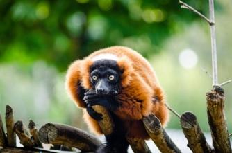 stockvault-red-ruffed-lemur208161
