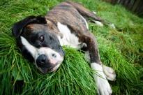 stockvault-boxer-dog-lying-on-grass138879