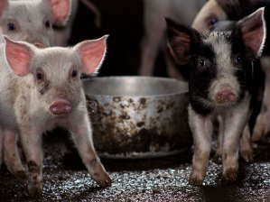 stockvault-pigs101122