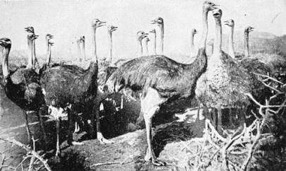 ostrich-02