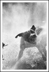 stockvault-pit-bull-attacking-water103337