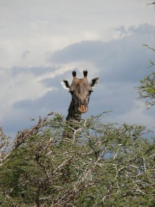 stockvault-giraffe103741