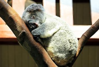 stockvault-wild-koala216127