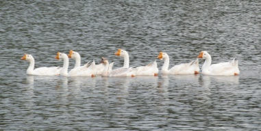 stockvault-ducks-in-a-row139671