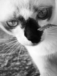 stockvault-burmese-cat-black-and-white138939