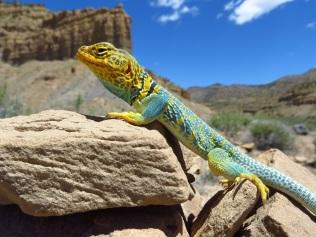 stockvault-collared-lizard207032