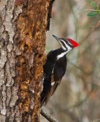 stockvault-pileated-woodpecker206962