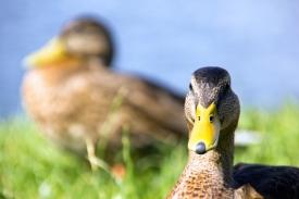 stockvault-ducks150723