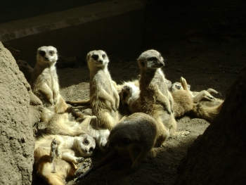 stockvault-sunbathing-meerkats105515