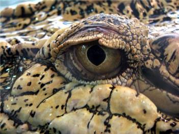 stockvault-crocodile-eye200999