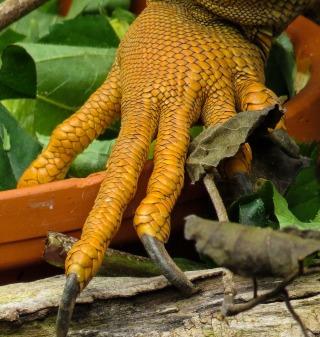 stockvault-iguana-claws212960