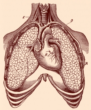 stockvault-human-heart-ampamp-lungs-circa-1911148444