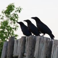 stockvault-ravens158045