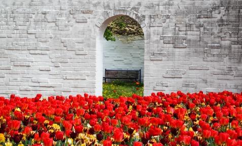 stockvault-fresh-tulips214199