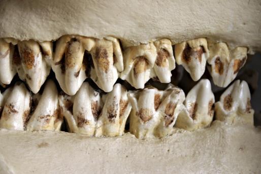 stockvault-animal-teeth99257