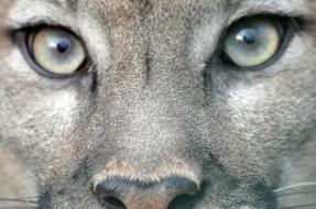 stockvault-puma-eyes112565
