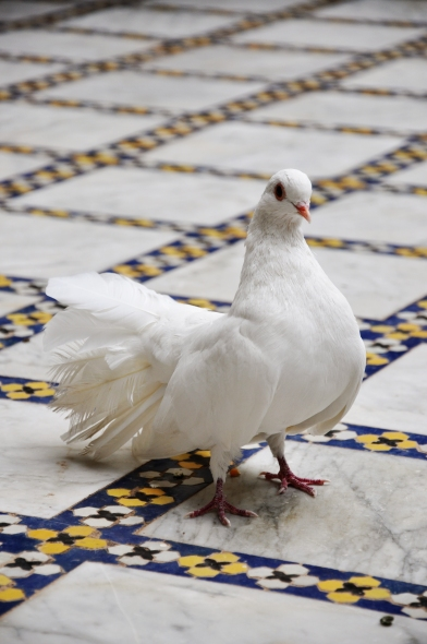 stockvault-white-dove-on-tiled-floor131004